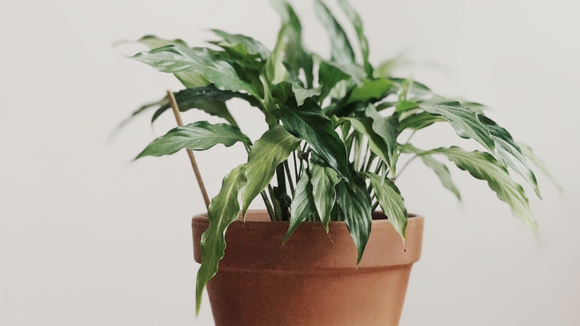 Image of peace lily pot plant